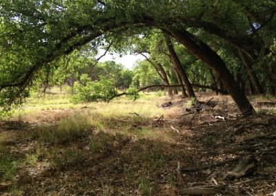 Trees-of-the-Bosque